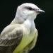 Kingbird closeup