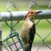 Woodpecker on suet