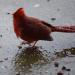 Wet cardinal