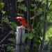 Cardinal on post