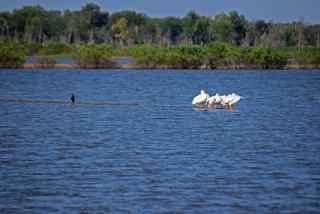 Pelicans13
