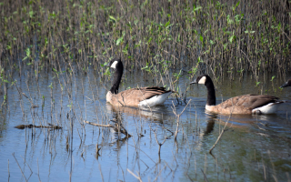 Canadageese13