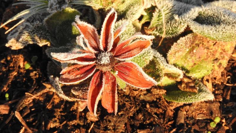Frostedflower1