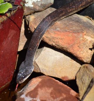 Snake6b