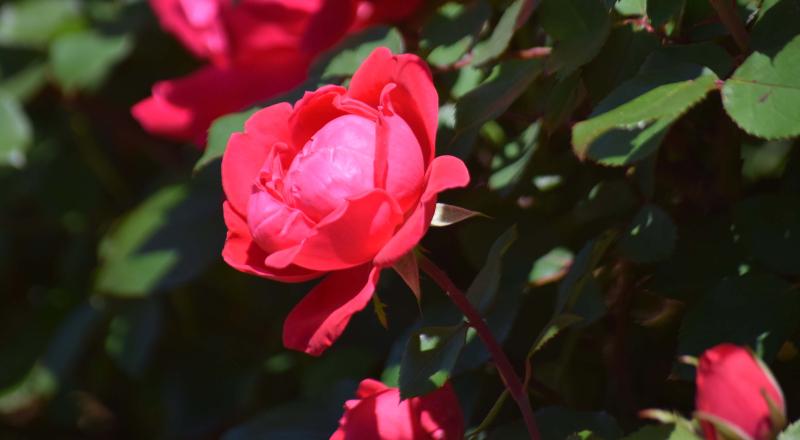 Roses28c