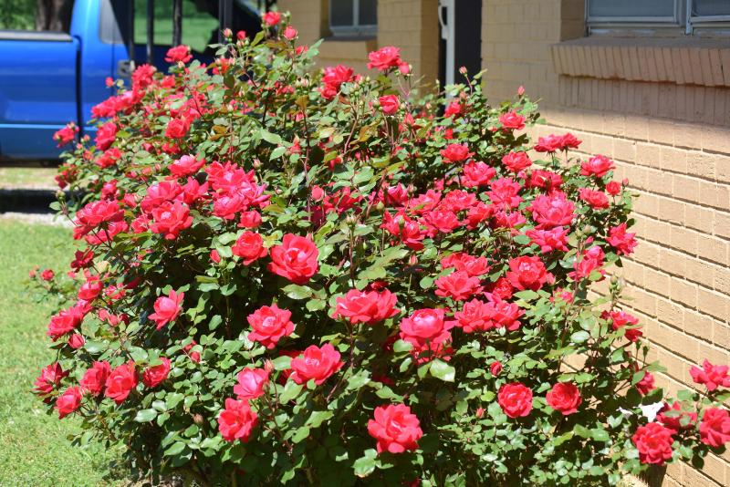 Roses28b
