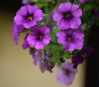 Purple17a