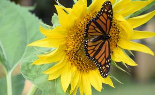 Monarch22d