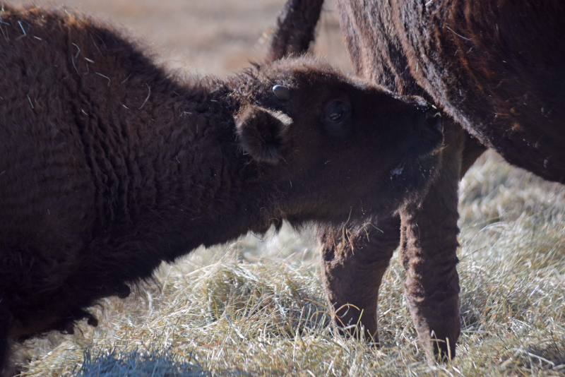 Buffalobaby3