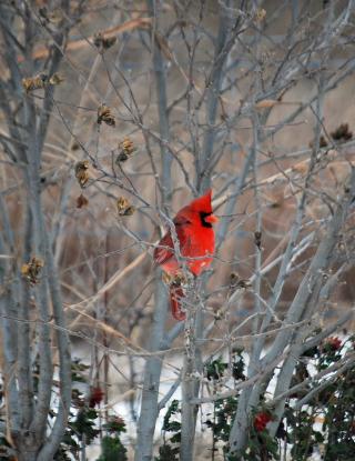 Cardinal3 (2)