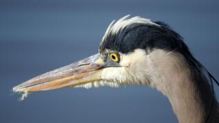 Heronface