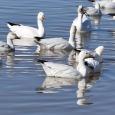 Geese20_edited-1