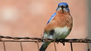 Bluebird18c