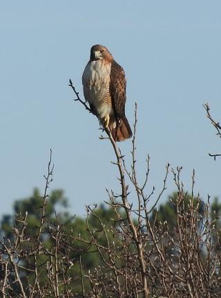 Hawk25b