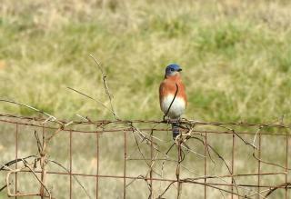 Bluebird25