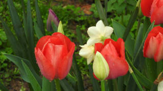 Tulips17a