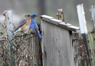 Bluebirdpair17