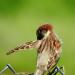 Sparrow preening