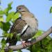Dove in tree