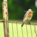Bluebird with grass