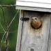 Bluebird in house