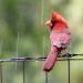 Cardinal on the fence