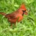 Male Cardinal in grass
