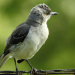 Mockingbird fluff