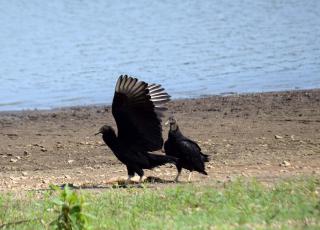 Vultures17