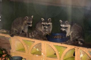 Raccoons10