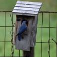 Bluebird27e