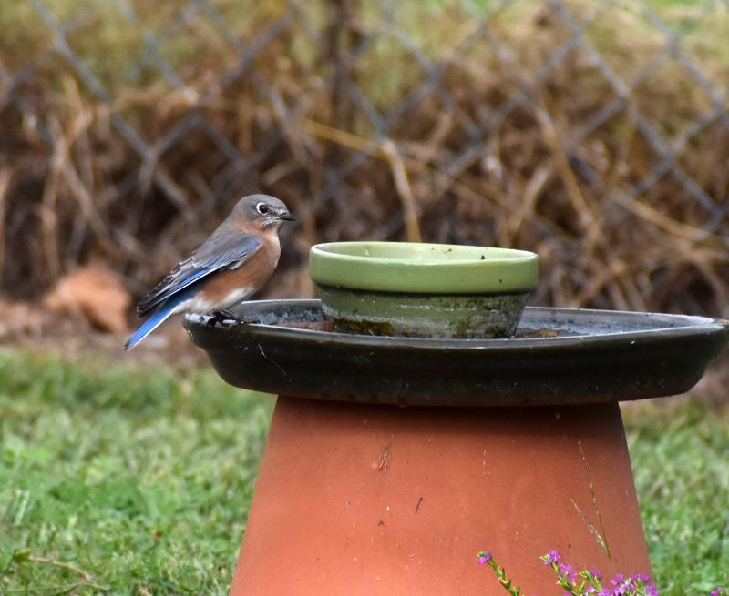 Bluebird27f