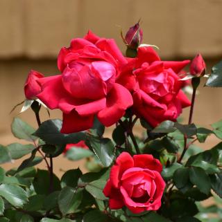 Roses30b