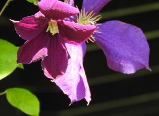 Clematis9a