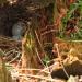 Eggs in stump
