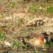 Killdeer nest defense