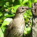 Juvenile Starling on fence