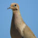 Mourning Dove face