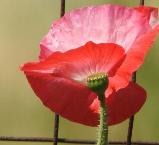 Poppy9b