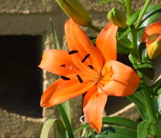 Orangelily18a