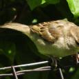 Sparrow27