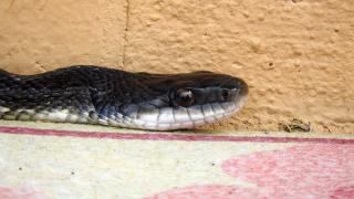 Snake1c
