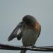 Bluebird preening