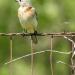 Female Bluebird on fence