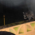 Raccoons10b