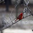 Cardinal11