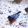 Bluebirdsnow15