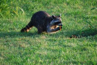 RaccoonMay23b
