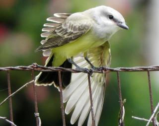 Kingbird3e
