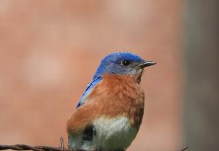 Bluebird18d